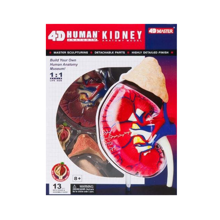 4d Vision Kidney Model Human Anatomy Inventors Educational
