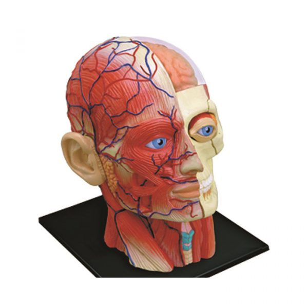 Human Head 2 600x600 - 4D Vision Human Anatomy Head
