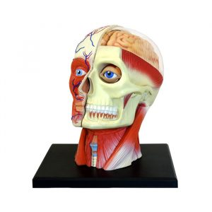 Human Head 300x300 - 4D Vision Learning Resources Human Torso Model