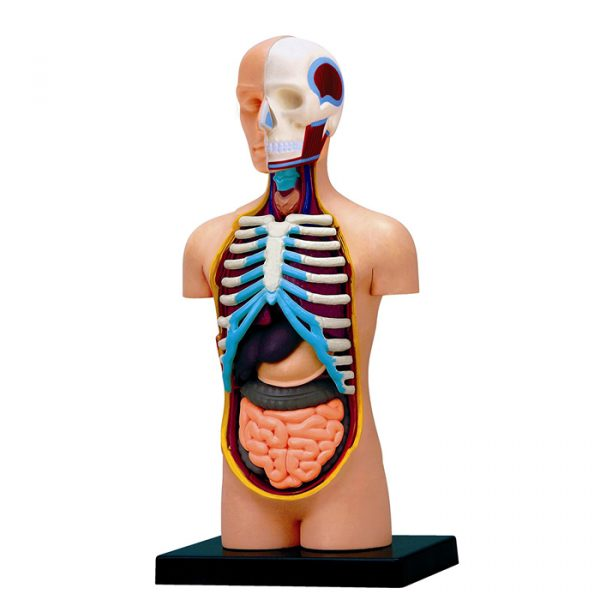Torso 600x600 - 4D Vision Learning Resources Human Torso Model